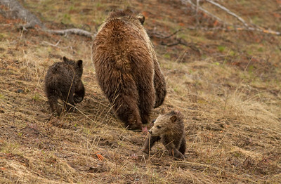Mother bear and cubs at Dunravens Pass
