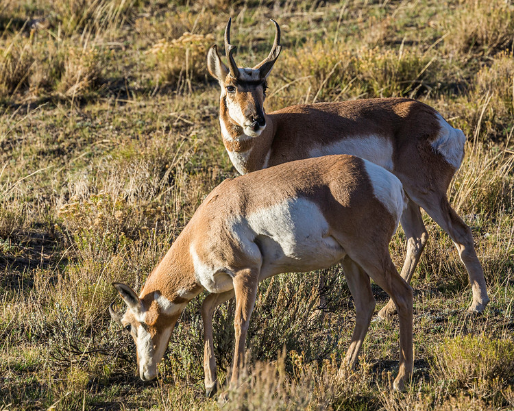 Pronghorn Pair, Lamar Valley