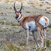 Pronghorn, Lamar Valley
