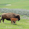 Bison and her calf trotting down the hill in Lamar Valley