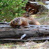 An adult male Marmot