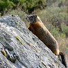 Marmot taking in some fresh air and sun on the rock.