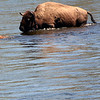 Herd of Bison/Buffalo walking and swimming thru the water.
