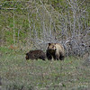 Grizzly and one of her cubs