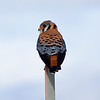A beautiful Kestral on a perch.