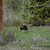Grizzly Cubs playing while mom eats nearby
