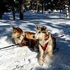 Two of our sled dogs
