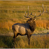 Male Elk from Yellowstone NP