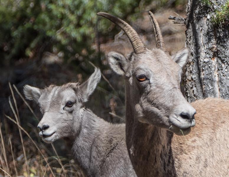 Pronghorn Sheep