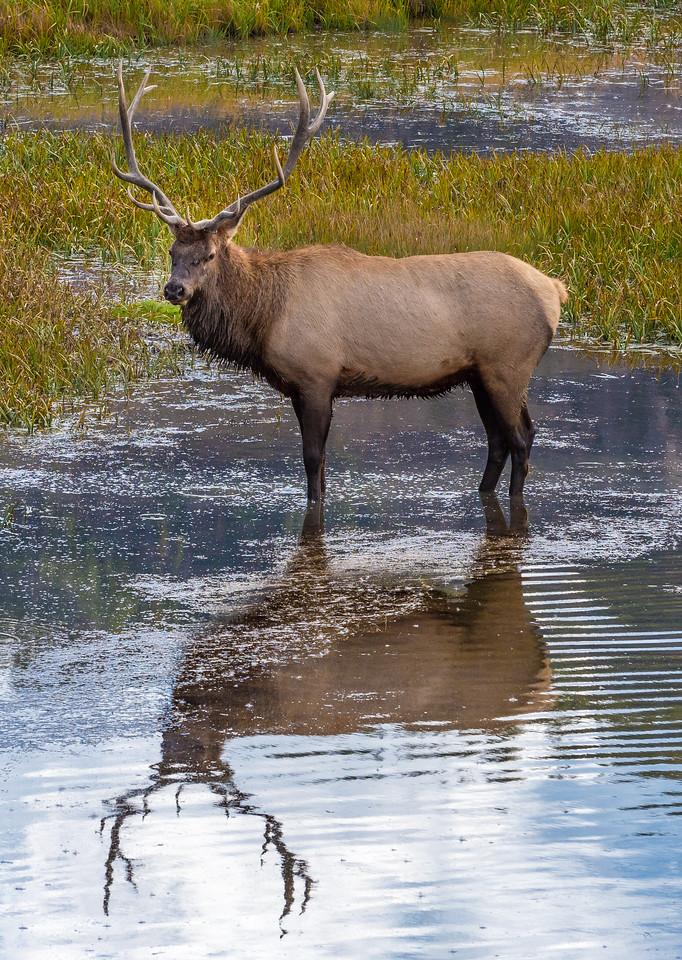 Older Male Elk