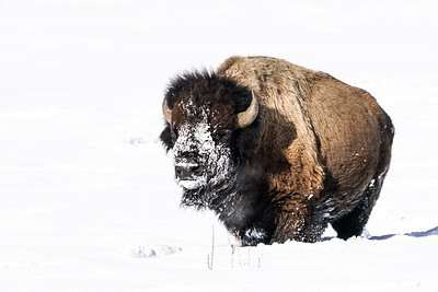 Deer / Buffalo / Antelope