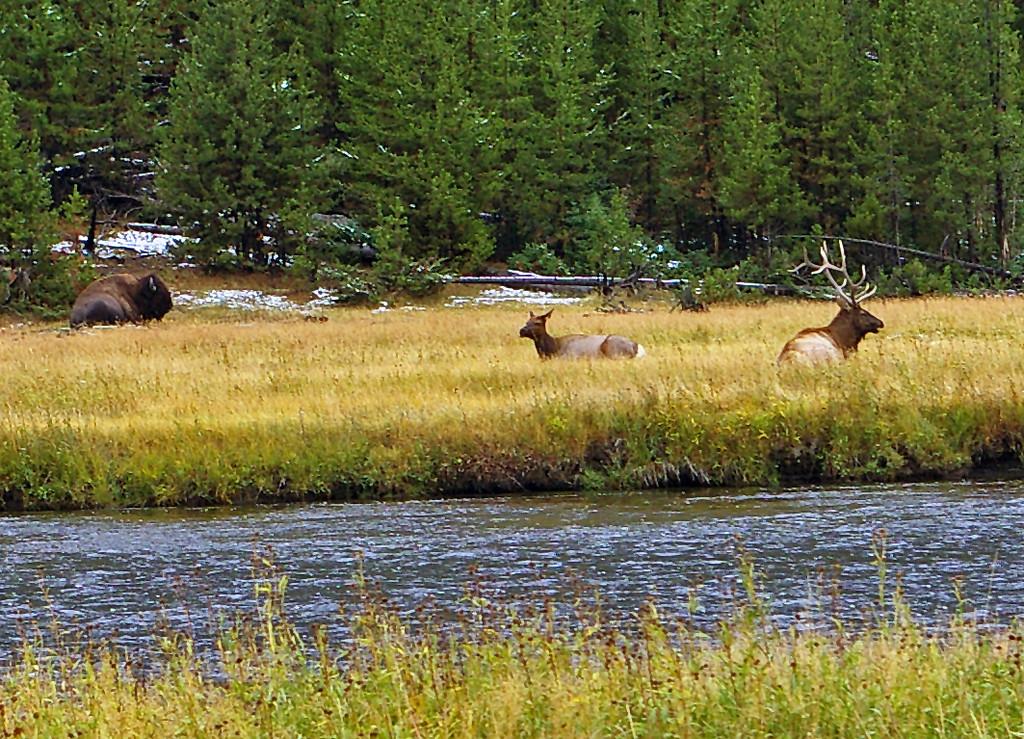 Elk and Bison