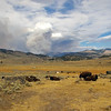Bison with wildfire background