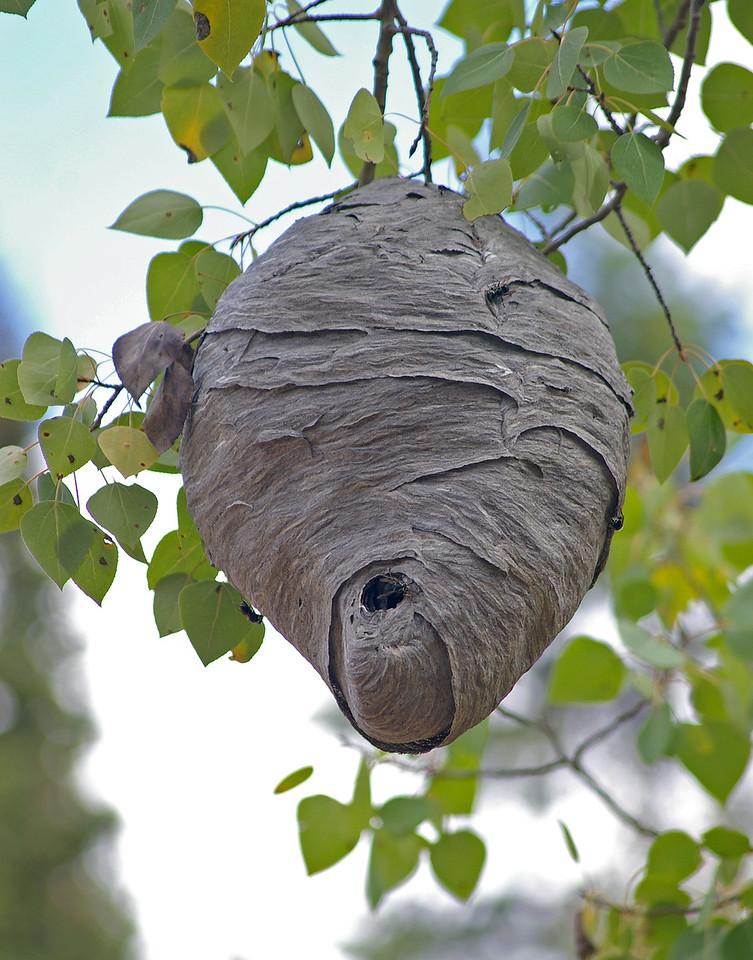 Bald face hornet hive