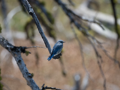 Mountain Bluebird 2