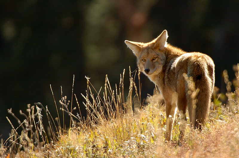 COYOTE AT DUNRAVEN PASS<br /> YELLOWSTONE NATIONAL PARK
