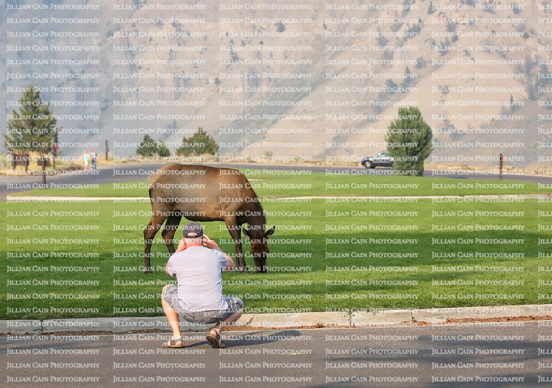 Man gets too close taking a photo of a female elk grazing on grass at Mammoth Hot Springs in Yellowstone National Park, Wyoming, USA.