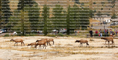 Visitors watch a herd of elk walk across the terrain at Mammoth Hot Springs. Elk are one of the largest land mammals.