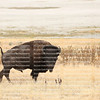 Male bison on high alert as he faces a threat in Hayden Valley, Yellowstone Park, Wyoming, USA.   Bison have lived in Yellowstone since prehistoric times.