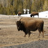 "The Stare<br /> <br /> The Yellowstone Park bison herd is believed to be one of only four free roaming and genetically pure herds on public lands in North America. The other three herds are the Henry Mountains bison herd of Utah, at Wind Cave National Park in South Dakota, and in Elk Island National Park in Alberta.<br /> ---Greg Embree, curator<br /> <br /> ""Looking at a buffalo nickel or a picture of a bison, or even looking at them in person, they can appear quite tame, since they don't (usually) move that fast in winter. Don't be fooled. They are conserving their energy. This one seemed to have plenty of energy in his gaze!""<br /> ---DJ Choupin<br /> <br /> Note: Artists contribute 20% of sales made during their exhibit to the Friends of the Arlington County Library, to help support Library programming."