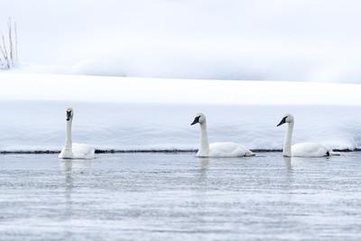 Trumpeter swans abound