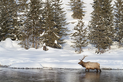 A large bull elk in beautiful light makes his way along the madison river
