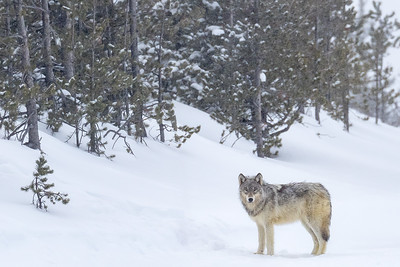 Wolves are frequently seen in this distance, but this group was right down on the road giving us the once over