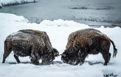 Dueling Bison #2