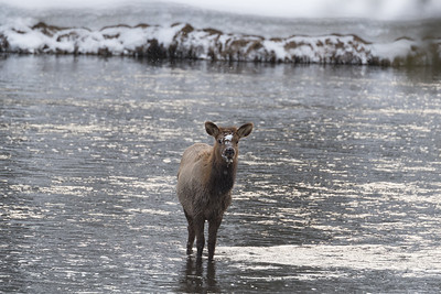 Elk are still common, but less frequent than before the wolves were reintroduced