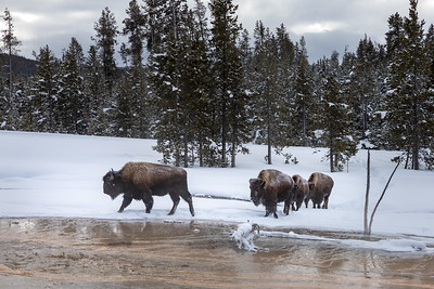 People are restricted to the boardwalks in geothermal areas, but the bison go where they want (sometimes to their peril).