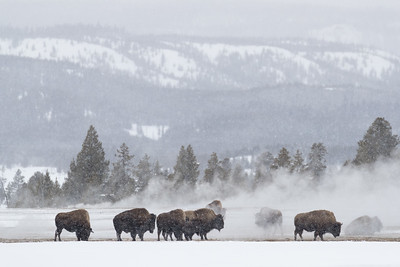 The bison frequent the thermal areas often using the steam as a source of warmth in the cold winter