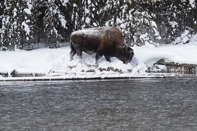 But pushing the snow aside to find food is hard work for the bison