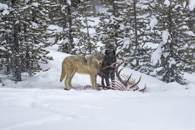 The waputi pack had brought down a large bull elk and was finishing off the carcass despite the falling snow