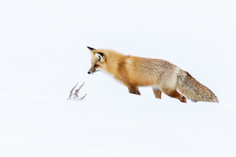 Surely one of the most gorgeous creatures to see in Yellowstone in winter, an American red fox
