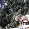 A female bighorn sheep near Soda Butte Creek