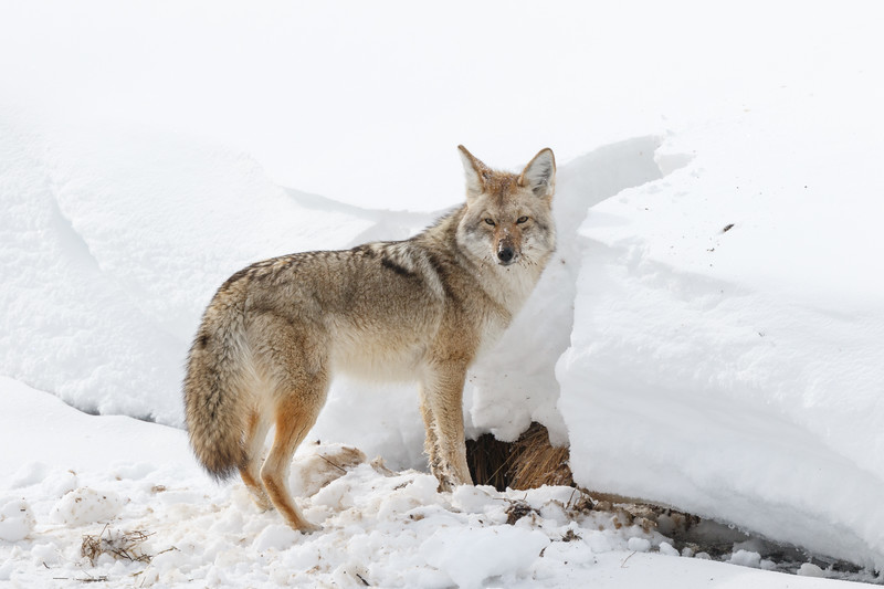 We watched this coyote as it dug and dug to find a buried morsel
