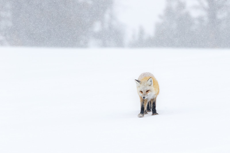 Another red fox, in a snowstorm this time