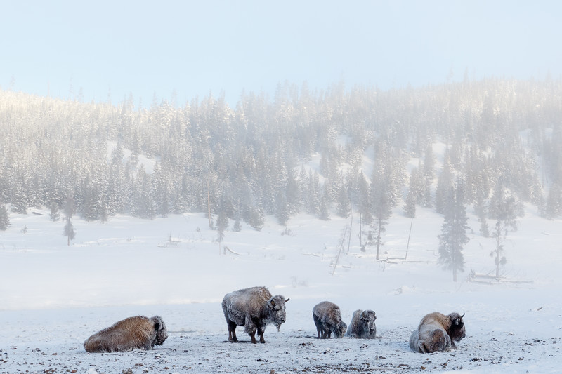 On the coldest morning of our trip to Yellowstone we found a small group of frosty bison