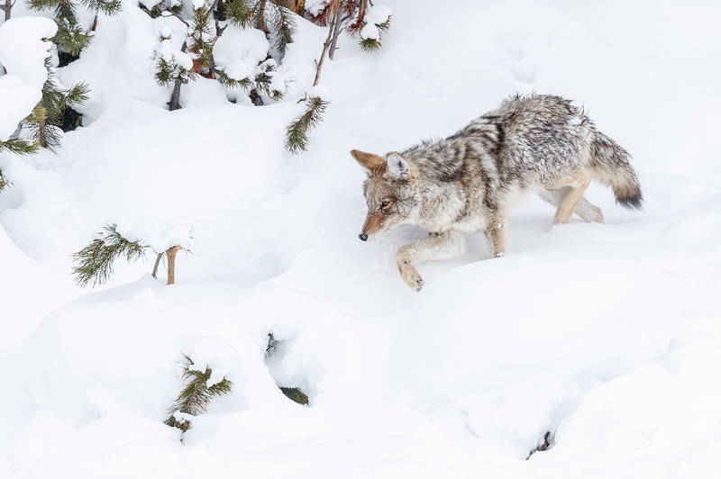A coyote in the search for food in the Hayden Valley