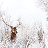A bull elk in the snow-covered undergrowth in north Yellowstone