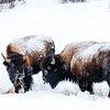 Food is hard to find, and not very nutritious when it is, in winter in Yellowstone