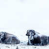 Female and calf in intense cold