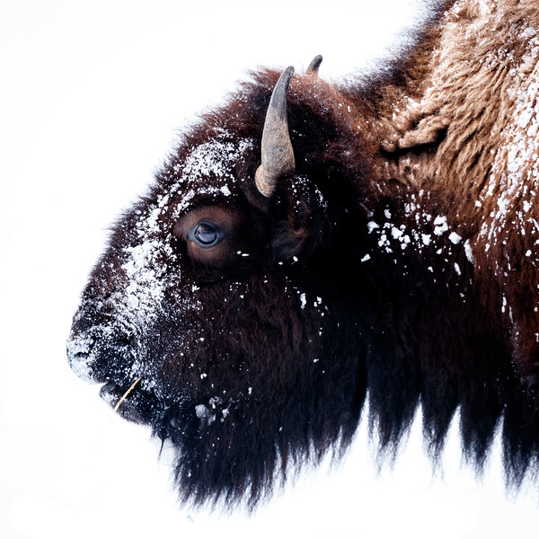 Bison are magnificent animals, the largest land-dwelling mammal in north America