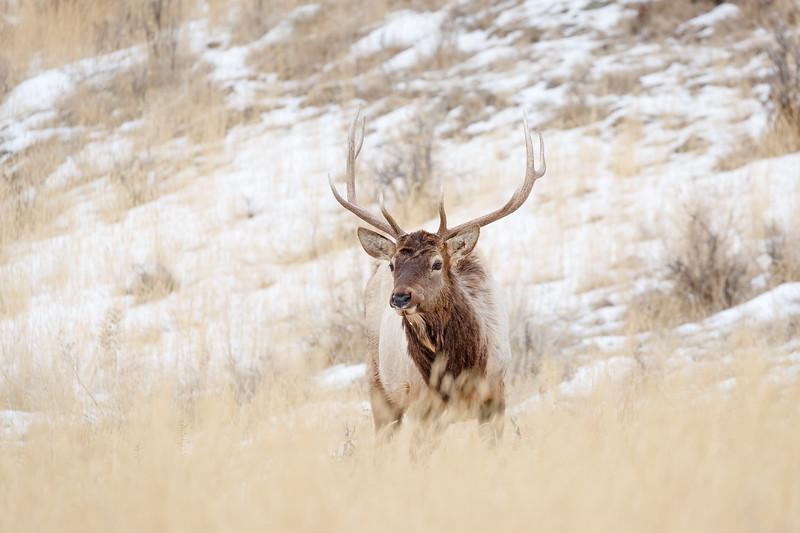 A bull elk on the outskirts of Gardiner