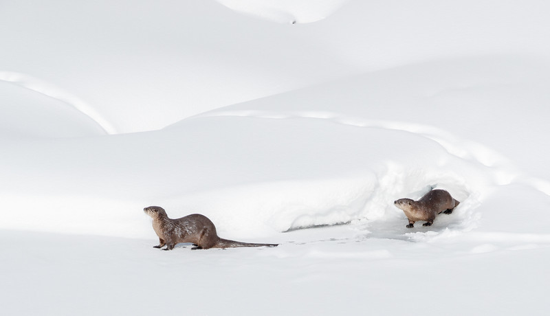 A pair of American river otters in the partly frozen Yellowstone River