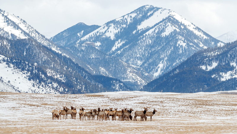 A herd of elk grazing along the roadside on the way to Yellowstone