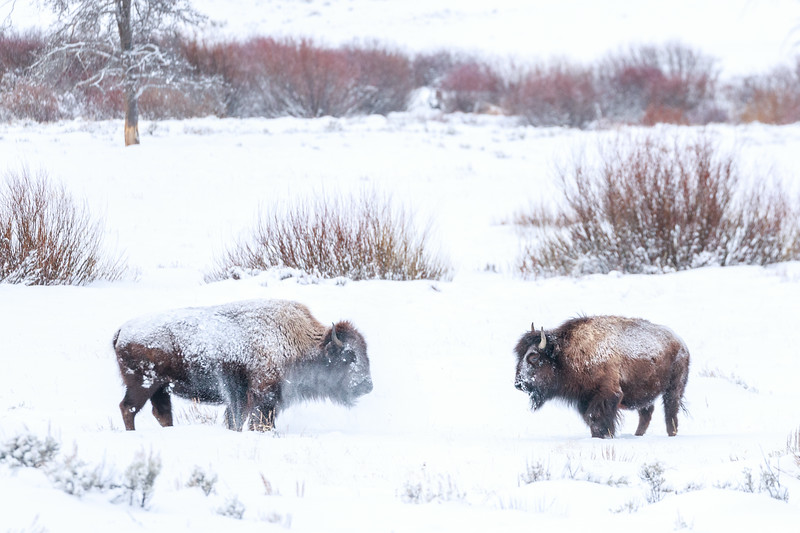 Snowy bison with frosty breath in North Yellowstone