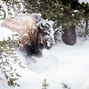 A bison emerging from the forest