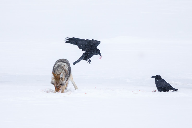 This coyote was finishing off the remains of a trumpeter swan assisted by ever-present raven