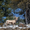 A bighorn sheep ram near Soda Butte Creek, north Yellowstone